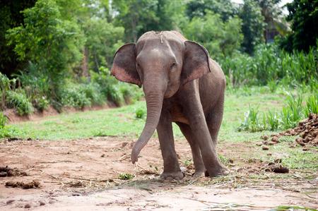 Asian elephant baby dance is joyfully.