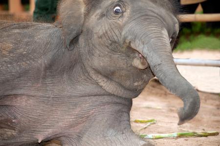 joyfully: Asian elephant baby dance is joyfully.