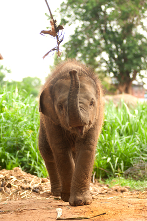 Asian elephant baby is joyfully.