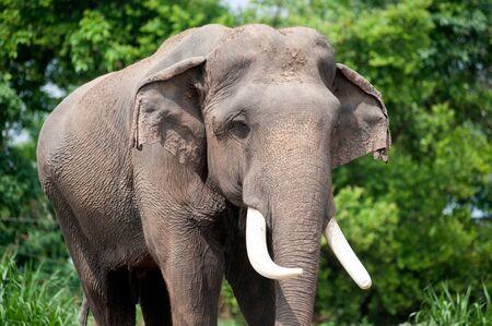 Aziatische olifant in de weelderige groene gras.