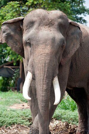 lush: Asian Elephant in the lush green grass. Stock Photo