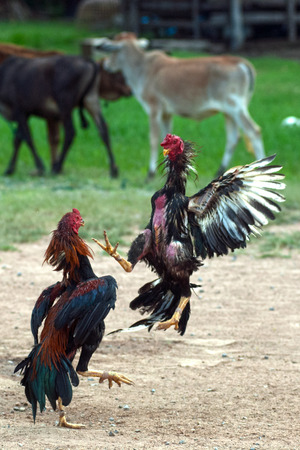 Cockfight in Thailand,Popular sport and tradition. Standard-Bild