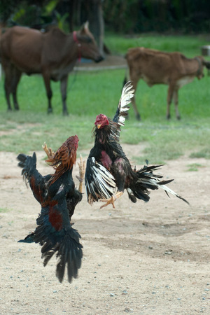 tradition: Cockfight in Thailand,Popular sport and tradition. Stock Photo