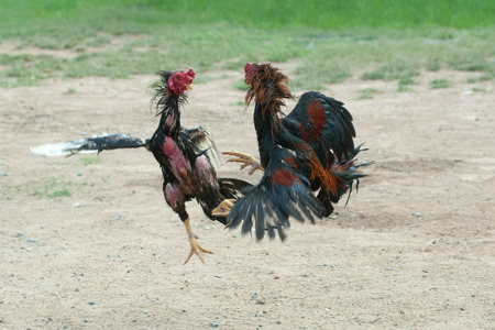 clawing: Cockfight in Thailand,Popular sport and tradition. Stock Photo
