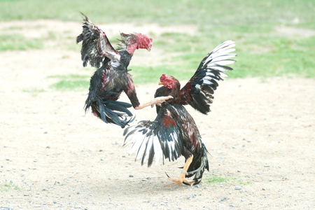 Cockfight in Thailand,Popular sport and tradition. Stock Photo