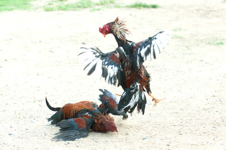 clawing: Cockfight in Thailand,Popular sport and tradition. Archivio Fotografico