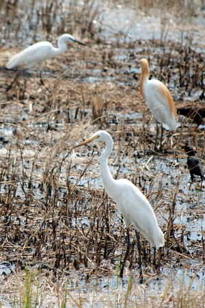 ardeidae: Young Egret walking on the paddy field in search of food. Stock Photo