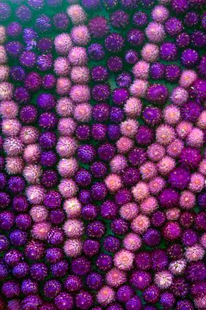 amaranth: Colorful Amaranth background. Stock Photo