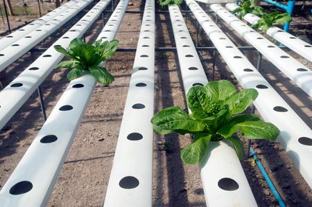 Hydrophonics farm in greenhouse at Corofield, Thailand.