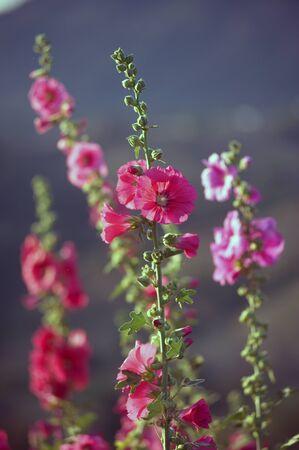 Beautiful Hollyhock flower or Alcea rosea.