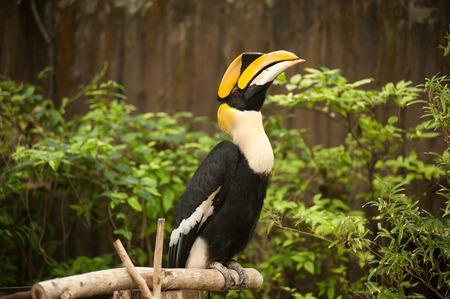 hornbill: Great hornbill (Buceros bicornis). Stock Photo