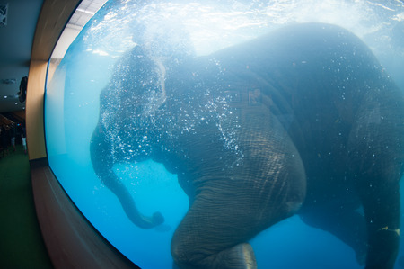 Young Elephant happiness swimming show for tourist in a zoo. Reklamní fotografie