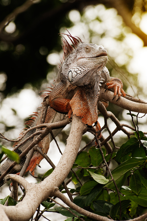 subtropical: Fantastic gray iguana sitting in the top of a bush.