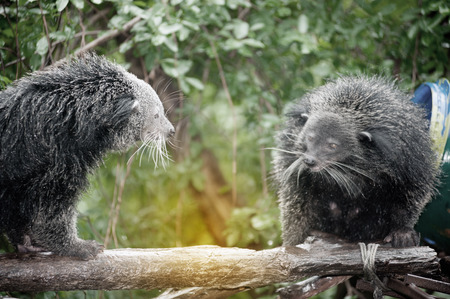 bearcat: Twin Binturongs and joyful in a zoo.