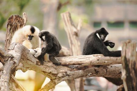 Family of Northern white cheeked gibbon (Nomascus leucogenys).