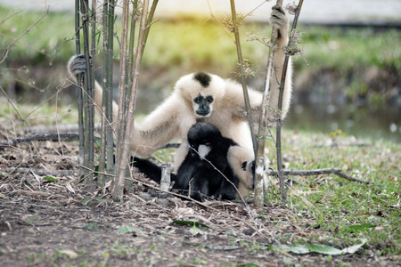 Mother and son of Northern white cheeked gibbon (Nomascus leucogenys). Stock Photo