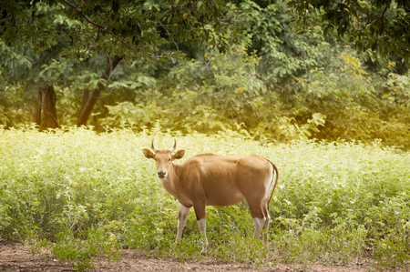 The wild gaur eating grass in the forest in Thailand. Stock Photo