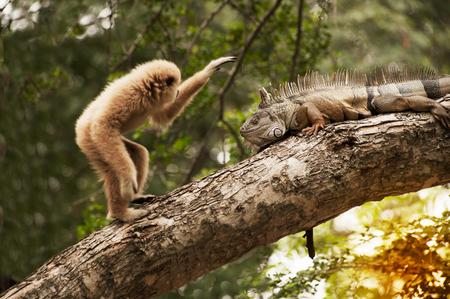 A white-handed gibbon (Hylobates lar) play with gray iguana on tree. Stock Photo