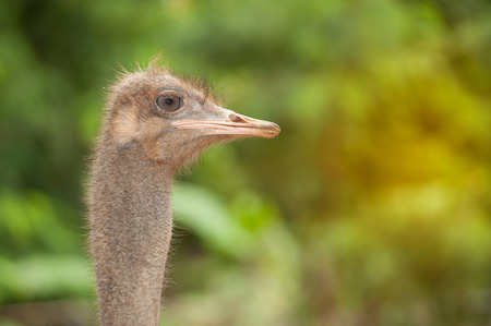 struthio camelus: Face of the Adult ostrich enclosure. Curious African ostrich. Stock Photo