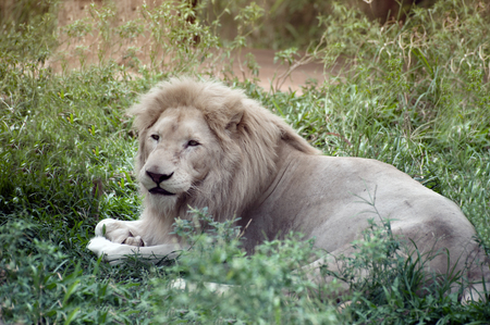 The white lion is occasionally found in wildlife reserves in South Africa and is a rare color mutation of the Kruger subspecies of lion (Panthera leo krugeri). Stock Photo - 77729289