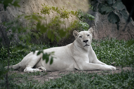 The white lion is occasionally found in wildlife reserves in South Africa and is a rare color mutation of the Kruger subspecies of lion (Panthera leo krugeri). Stock Photo