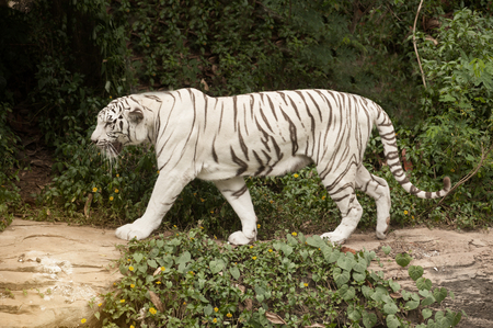Image of a beautiful and elegant white bengal tiger at the zoo.