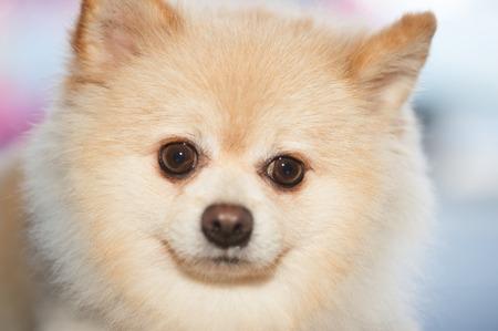 pom: Fluffy Pom Pomeranian cute dog small pet friendly.