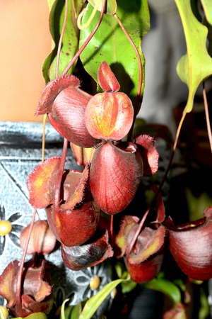 Tropical pitcher plants or Monkey cups.