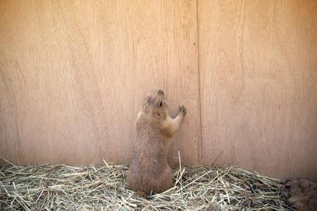 Prairie Dog standing up.