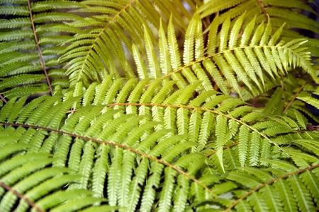 Green garden background of Fishbone Fern or Sword Fern (Nephrolepis cordifolia (L.) Presl.).