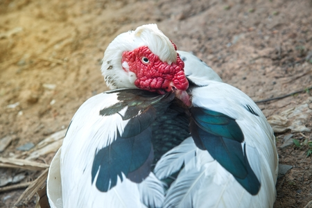 Portrait of White Muscovy duck portrait Musky duck Indoda Barbary duck with red nasal corals in the park. Stock Photo