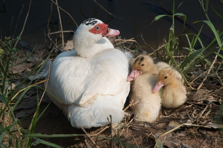 Muscovy duck mother with ducklings. The musky duck. The maintenance of musky ducks in a park. Stock Photo