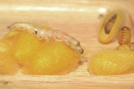 Close up in sect Silkworm on tray. Stok Fotoğraf