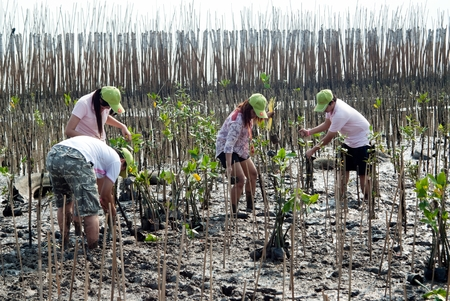 SAMUT PRAKAN , THAILAND – MARCH 13, 2011 : Thai unidentified volunteers from all over part of Thailand working on plant young mangrove trees in reforestation to reduce global warming prevent erosion along the banks at Bangpu Recreation Center.
