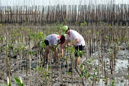 SAMUT PRAKAN , THAILAND – MARCH 13, 2011 : Thai unidentified family volunteers from all over part of Thailand working on plant young mangrove trees in reforestation to reduce global warming prevent erosion along the banks at Bangpu Recreation Center.