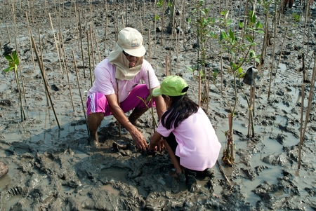 SAMUT PRAKAN , THAILAND – MARCH 13, 2011 : Thai unidentified family volunteers from all over part of Thailand working on plant young mangrove trees in reforestation to reduce global warming prevent  報道画像