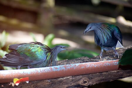 Colorful Nicobar Pigeon strolling down the pavement, side view seen from above, facing right, Thailand.