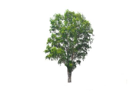 Green tree on isolated, an evergreen leaves plant di cut on white background with clipping path. Stock Photo