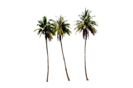 Groups of coconut trees on a white background with the clipping path.