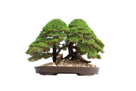 A small bonsai tree in a ceramic pot on the white background Banque d'images