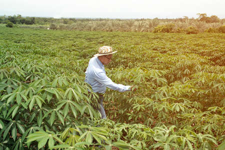 The Asian elder farmers man checking the yield in cassava fields.