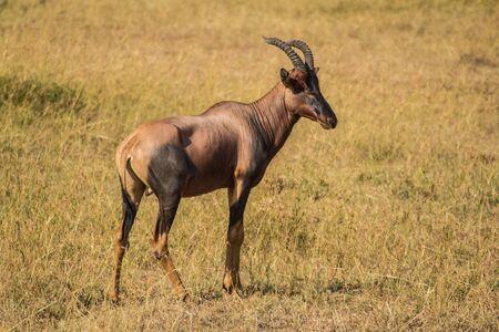 masai mara: topi standing in masai mara