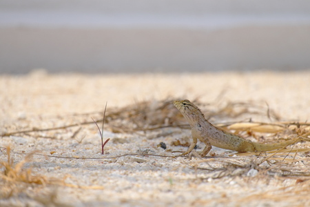 frilled: Lizard looking dangerous on the ground. Stock Photo