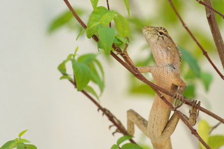 frill: Lizard camouflage tree in the garden Stock Photo