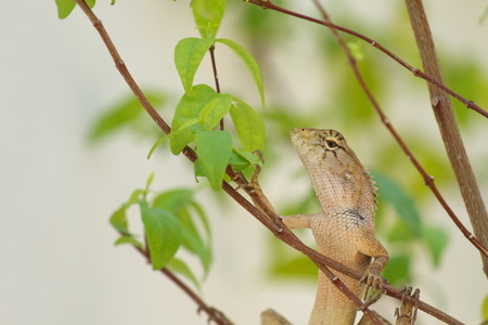frilled: Lizard camouflage tree in the garden Stock Photo