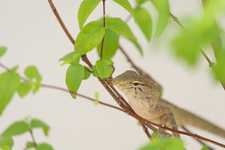 a frill: Lizard camouflage tree in the garden Stock Photo