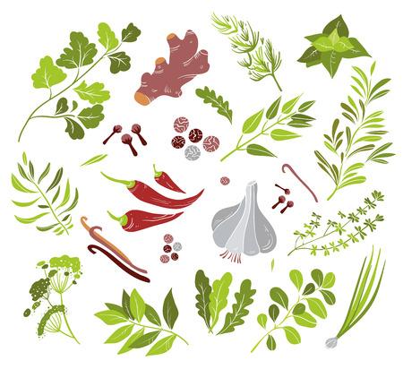 koriander: Vector különböző gyógynövények és fűszerek állítsa lapos stílus Illusztráció