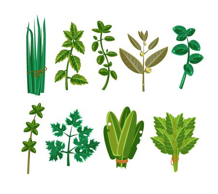 fresh herbs: Set of 9 vector herbs, aromatic herbs for seasoning food