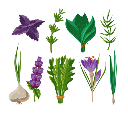 aromatic: Set of 9 vector herbs, aromatic herbs for seasoning food
