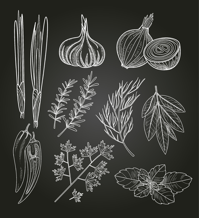chive: Culinary Herbs and Spices. Handdrawn Vector Vintage Illustration.